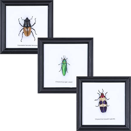 Gift Pack of 3 Assorted Beetles - Framed Insect Taxidermy 120x120mm ...