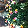 100 Mystic Rainbow Rose Bush Flower Seeds Rose Seeds ,Plus Mysterious Gift