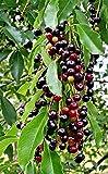 2 Live Plants Wild Black Cherry Trees Prunus SEROTINA Edible Fruit