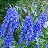Hyacinthus Orientalis Hyacinth Flower Seeds 80 SEEDS --BUY 4 ITEMS