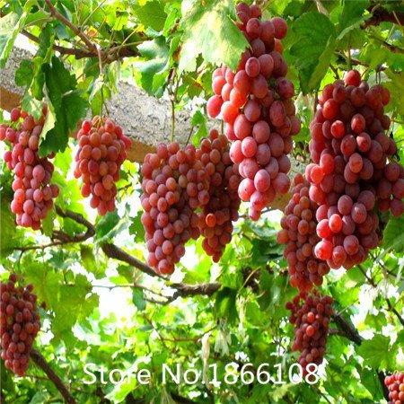 grape amp - 5