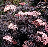 "Black Lace Elderberry - Sambucus - NEW - HARDY -Proven Winners - 4"" Pot"