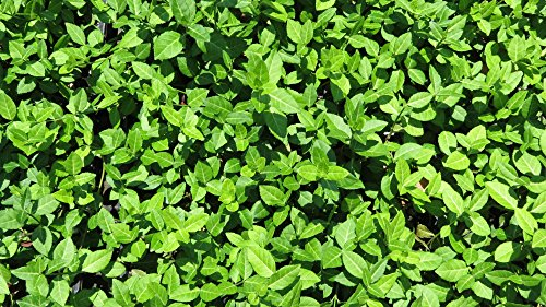 Purple Leaf Wintercreeper Euonymus fortunei 'Coloratus' Groundcover - 100 Bare Root Plants