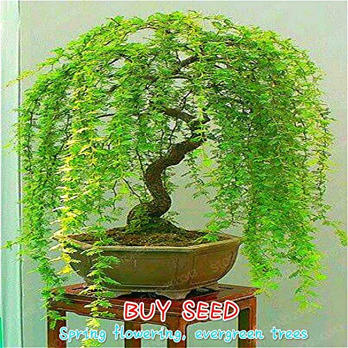 Sale 50pcs Rare Sky Blue Willow Seeds Chinese Perennial Flower Indoor Plants Seed Evergreen Bonsai Tree For Garden Decoration Deep Blue