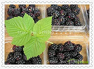 200 semillas de frambuesa colores mezclados semillas friut raras gigantes grande estupendo, deliciosas semillas de frutas para macetas jardineras