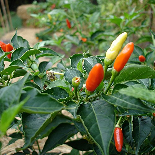 Bonnie Plants Tabasco Pepper - 4 Pack Live Plants | 1.5 - 2 Inch Fruits | 24 - 36 Inch Tall Plants | Great For Pickling & Preserving by Bonnie Plants (Image #7)