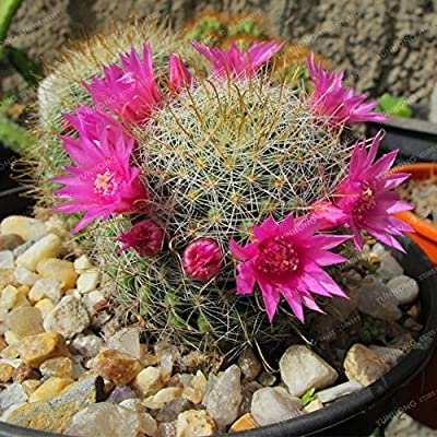 Accessory Home - 100pcs/pack Rare Cactus Bonsai Meaty Plant Plants for Home New Fresh Protection : Garden & Outdoor