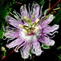 MAYPOP Passiflora incarnata 50 seeds