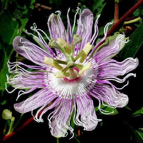 Flor da Paixão, De maracujá