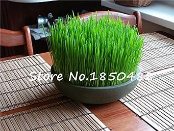 semillas de plantas de follaje de hierba de trigo, semillas de hierba de gato, semillas de trigo, plantas bonsái para el jardín, cerca de 200 partículas: ...