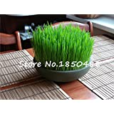 Foliage plant seeds wheat grass, cat grass seeds, wheat seeds, bonsai plant for garden, about 200 particles