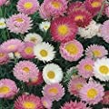 Paper Daisy- Helipterum- Mix- 50 Seeds