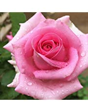 Fastdirect 20 Graines de Rosier Semences Rosiers de Poète Polyanthas Parfumé Bricolage Jardinage Bonsaï Plantes Vivaces, Multi-couleur Disponibles