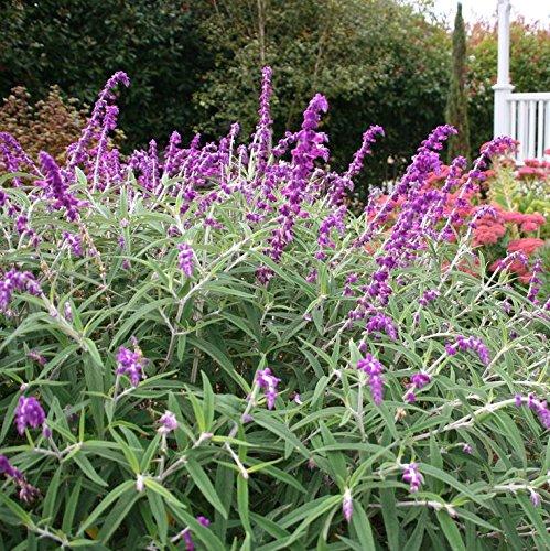 - Starter Plant - Salvia LEUCANTHA - Mexican Bush SAGE