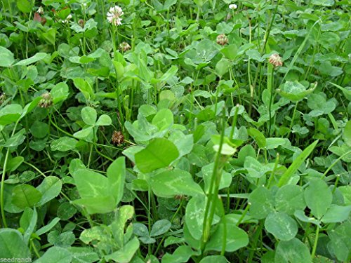 Ladino Clover Seeds - 25 Lbs. by SeedRanch (Image #1)