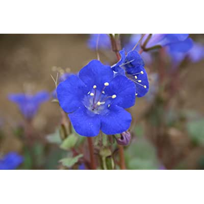"Phacelia""California Bluebell"" Flowers, 1000+ Premium Quality Flower Seeds, Delightful Addition to Your Home Flower Garden!, 90% Germination Rates, (Isla's Garden Seeds), Phacelia Campanularia : Garden & Outdoor"