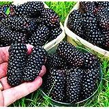 200/Heirloom Blackberry Seeds Sweet Black Berry Giant Blackberries Triple Crown Blackberry Black Mulberry Seeds Fruit Seeds