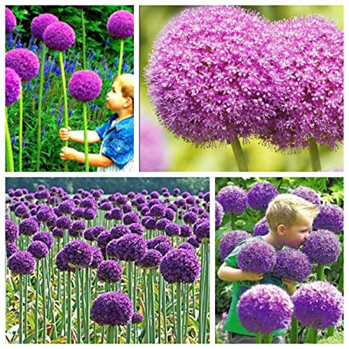Heirloom Allium giganteum Giant Onion with Purple Flower Pack 50 Seeds