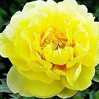 1x Rizoma Peonias Plantas de exterior Peonias bulbos Flores naturales Plantas vivas Peonia Bartzella