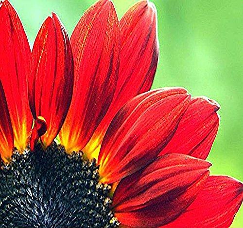 - 80 x VELVET QUEEN Sunflower Seeds - Velvety, dark mahogany-red flowers dark center - Make Excellent BORDER or CUT FLOWERS - By MySeeds.Co