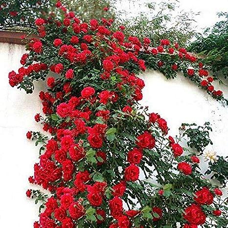 Guajave 100 Pzas/Juego Rosal Trepador Semillas Perenne Aromático Jardín Hogar Planta Multiflora Flor Semilla - Rojo: Amazon.es: Hogar
