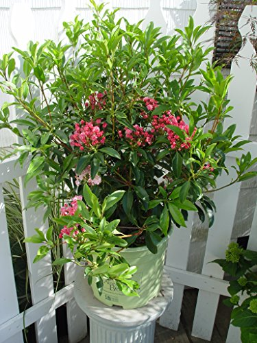 American Beauties Native Plants - Kalmia lat. 'Pink Charm' (Mountain Laurel) Evergreen, deep pink flowers, #3 - Size Container by Green Promise Farms (Image #1)