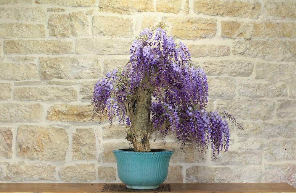 Wisteria Bonsai Tree 13 Amazon Co Uk Garden Outdoors