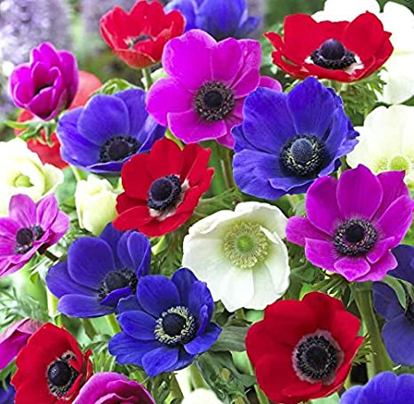 Viridis Hortus - 15 x Anemon - De Caen Mixed Bulbs (Excellent as Cut Flowers)