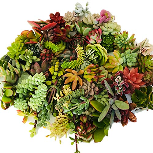 20 Assorted Live Succulent Cuttings Varieties Beginners Succulents, 10 Plus Varieties, Great for Terrariums, Mini Gardens, and as Starter Plants
