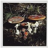 3dRose Fungi, Agaric Mushroom, Oberaegeri, Switzerland - EU29 RNU0023 - Rolf Nussbaumer - Greeting Cards, 6 x 6 inches, set of 12 (gc_82651_2)