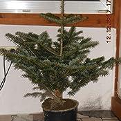 echter weihnachtsbaum nordmanntanne im topf 100 120 cm. Black Bedroom Furniture Sets. Home Design Ideas
