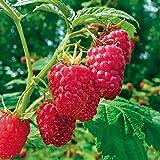 buy Meeker Red Raspberry Plant - 4