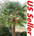 Go Garden 15: Windmill Palm Tree Seeds T31, Hardy Trachycarpus Fortunei Evergreen