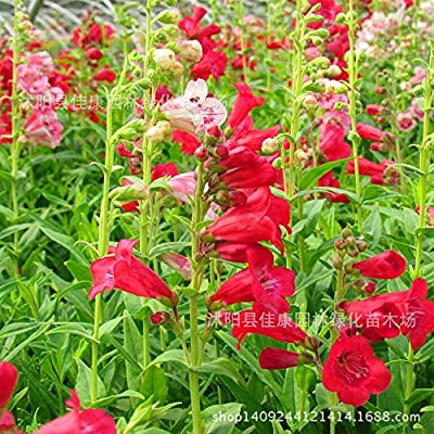 Fotcus - Flower bonsai imported authentic ivory red bell willow bonsai bonsai Penstemon real shot 200g / Pack: Garden & Outdoor