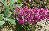 Summer Beauty Butterfly Bush (Buddleia davidii) Live Herb Plant