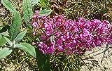 Summer Beauty Butterfly Bush (Buddleia davidii) Live Herb Plant