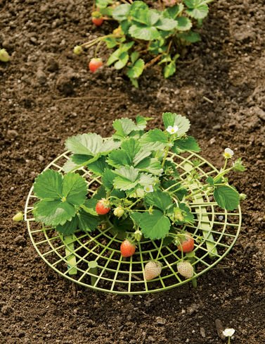 Strawberry Supports, Set of 6 by Gardener's Supply Company