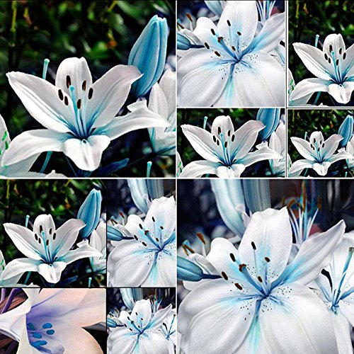 Blue Lily Seeds,Blue Heart Lily Bulbs Seeds Lily Potted Balcony Plant Bulbous Seed for Home Yard Decoration,50Pcs