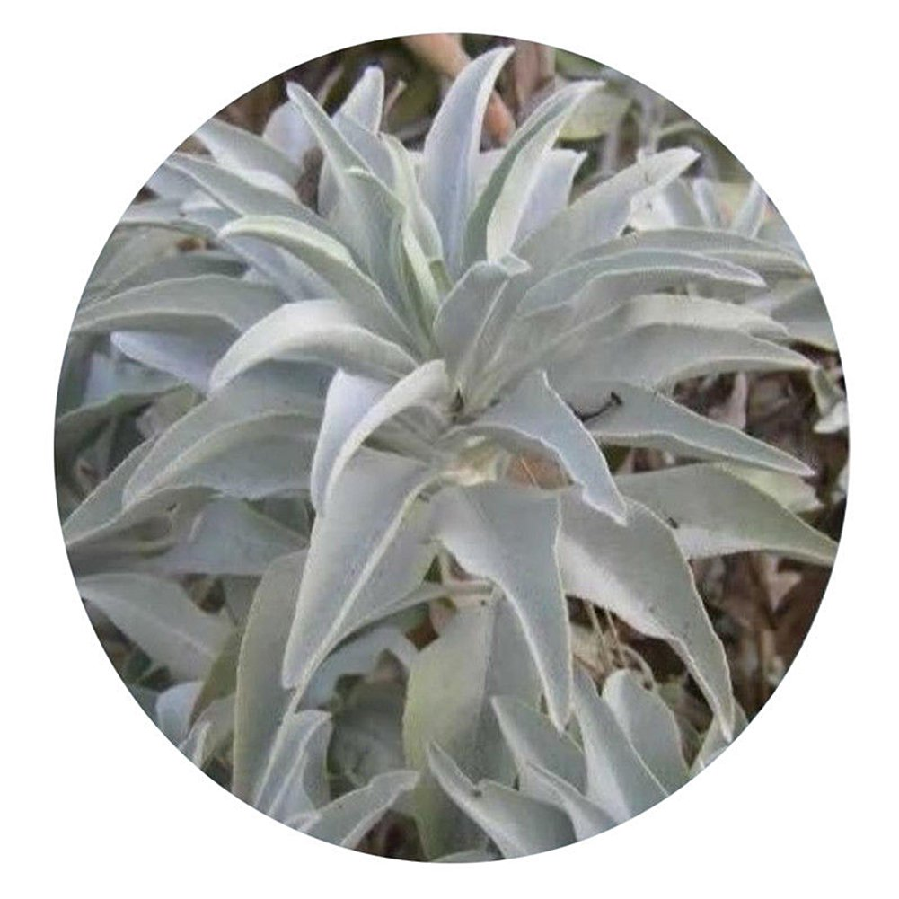 WuWxiuzhzhuo 100Pcs California White Sage Seeds,Sacred Salvia Apiana Ceremonial Aromatics