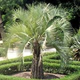 BUTIA CAPITATA PINDO PALM cold hardy 10 seeds
