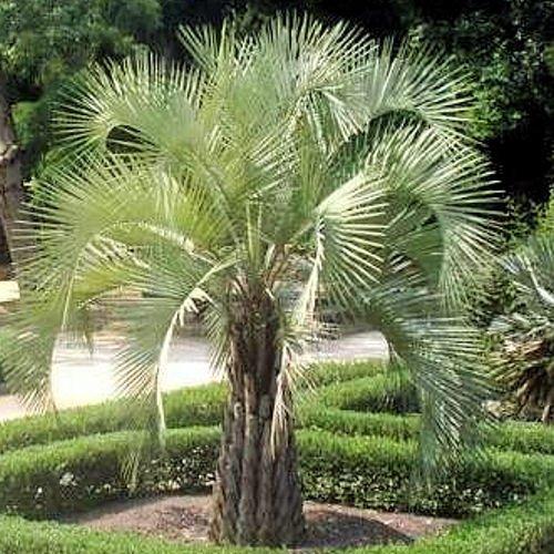 Palm 10 Seeds - BUTIA CAPITATA PINDO PALM cold hardy 10 seeds