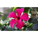 Hibiscus coccineus 5 Samen, Scharlach-Hibiskus (Hibiscus Texas RedStar)