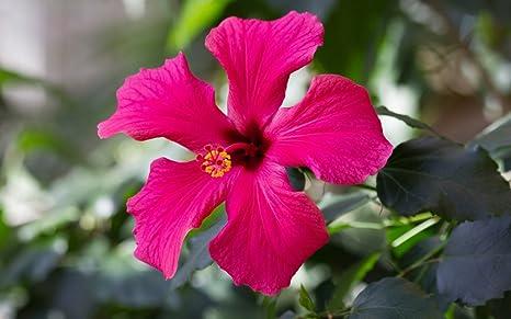 Rws Hibiscus Coccineus 5 Graines Dhibiscus Rouge Hibiscus