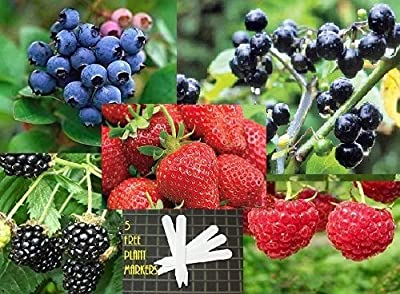 Fruit Combo Pack Raspberry, Blackberry, Blueberry, Strawberry, Huckleberry (Organic) 615+ Seeds 646263361511 Self Fertile + 5 Free Plant Marker