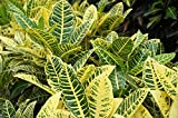 1 PLANT - CROTON - YELLOW PETRA - LIVE PLANT - MULTI COLOR