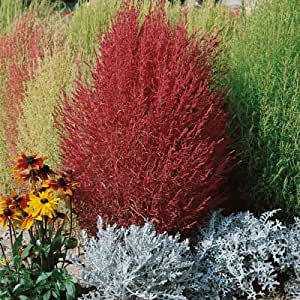 Kings Seeds - Kochia Trichophylla (Burning Bush) - 750 Seeds