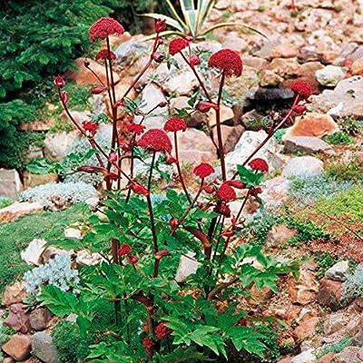Bio Garden - Rare 100pcs Angelica gigas Attract Bees, Seeds Easy to Grow, Exotic Flower Seeds Hardy Perennial Garden : Garden & Outdoor