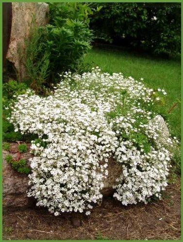 1000 BABY'S BREATH COVENANT GARDEN Gypsophila Elegans Flower Seeds (Babys Breath Florist)