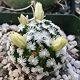 Mammillaria duwei Cactus Cacti Succulent Real Live Plant PD