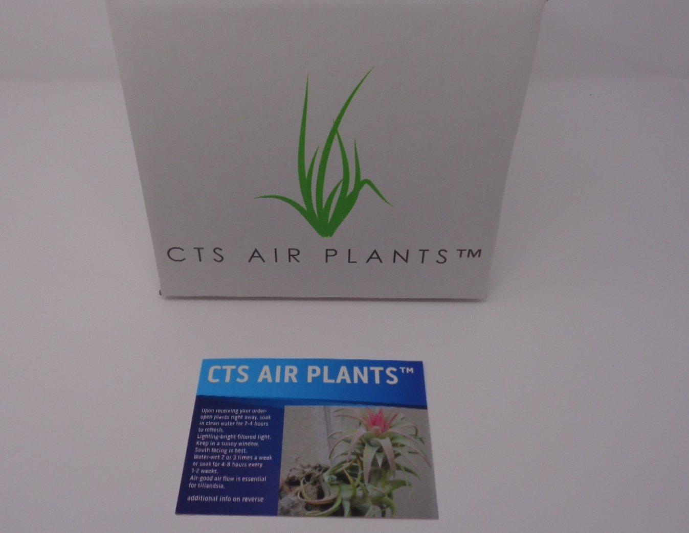 CTSairplants 5 Pack Assorted Tillandsia Air Plants